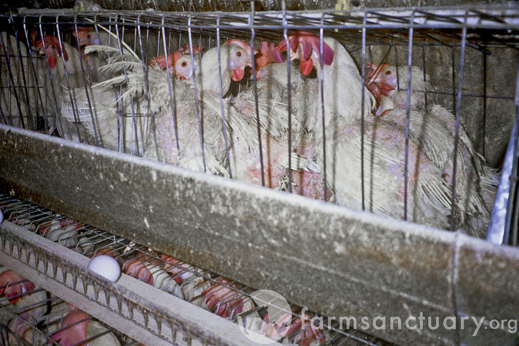 Egg Laying Hens4