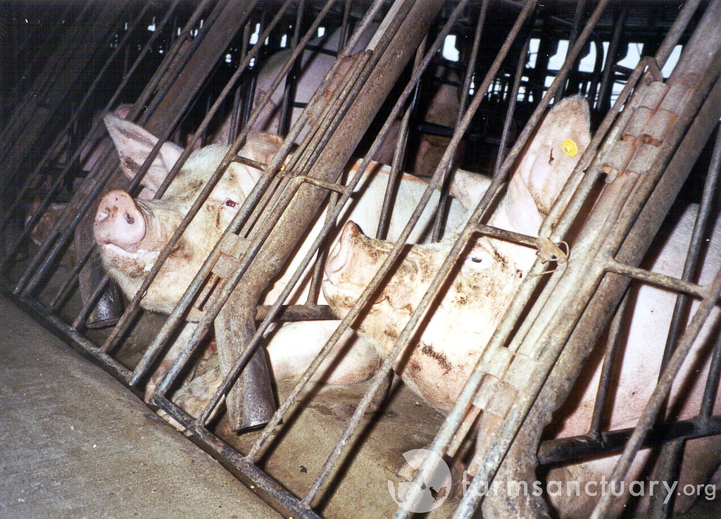 Pigs at factory farms