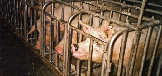The life of factory farmed pigs