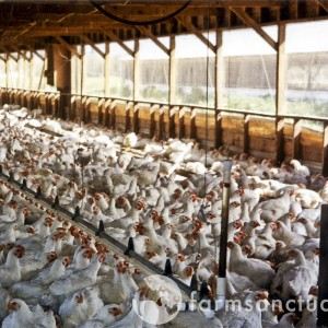 Life on factory farms for meat chickens