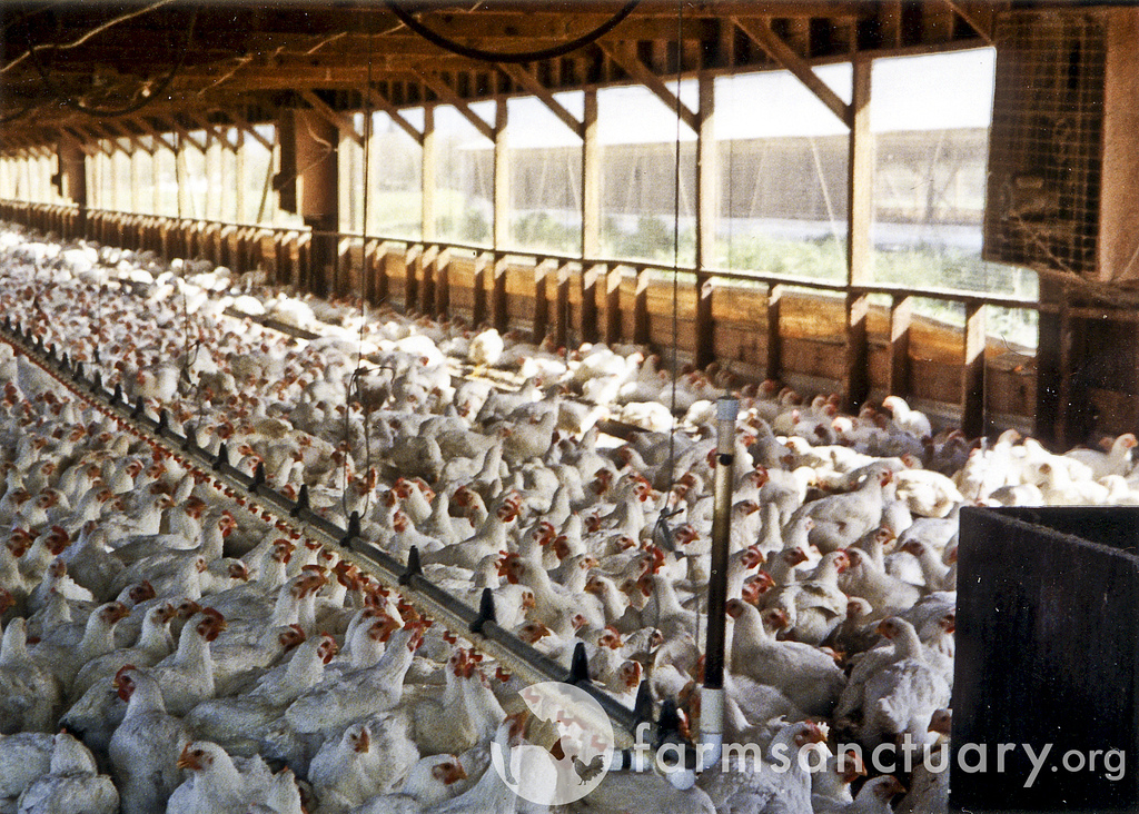 factory farmed meat chickens