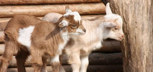 Jim and Cheri Vandersluis, Goat Farmers to Sanctuary Founders