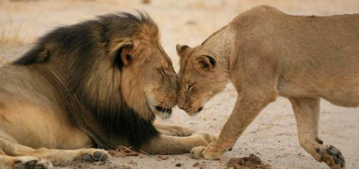 Captive Canned Lion Hunting