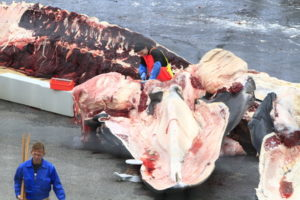 Breach—One Man's Personal Obsession with Killing Endangered Whales in Iceland