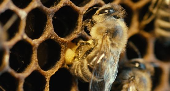 More Than Honey, the Worldwide Honeybee Crisis